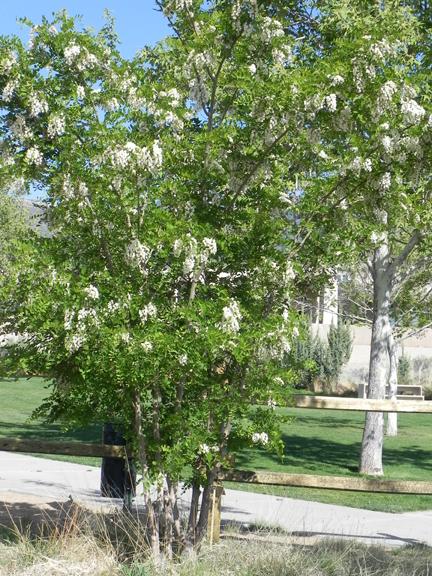 NM Locust tree