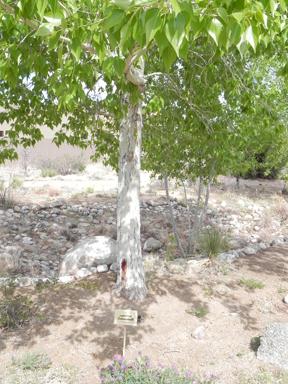 lanceleaf cottonwood