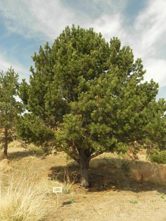 pine allergies #11